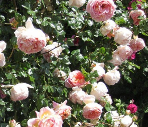 abraham darby rosa