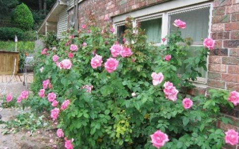 arbusto rose queen elizabeth