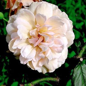 rosa madame alfred carriere ficha