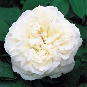 rosa winchester cathedral, white mary rose