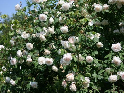 rose madame alfred carriere