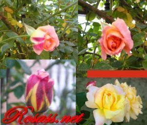 rosa paul´s lemon pillar