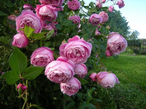 rosas antiguas mistic beauty