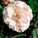 rosa madame alfred carriere miniatura