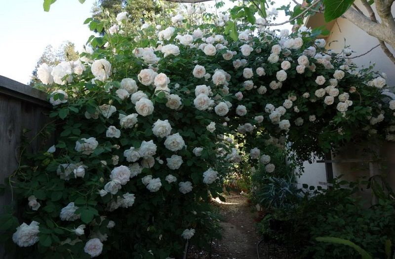 rosa madame alfred carriere sobre arco